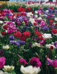 Bright and easy Anemones