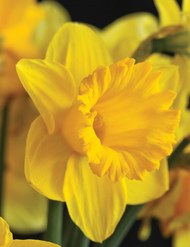 Bright and cheery daffodils