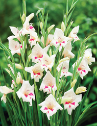 Species Gladioli - perfect for naturalising
