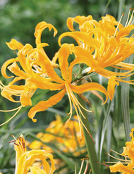 Nerines - colourful low maintenance