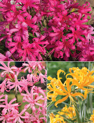 Nerines Collection