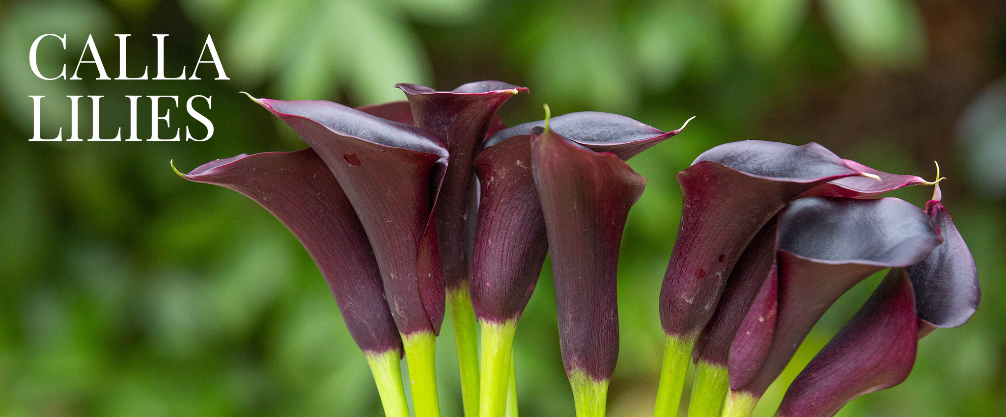 Calla lilies tesselaar plant a range of colourful calla lily blooms for a succession of fabulous flowers through summer great in the garden and great for picking calla lilies izmirmasajfo