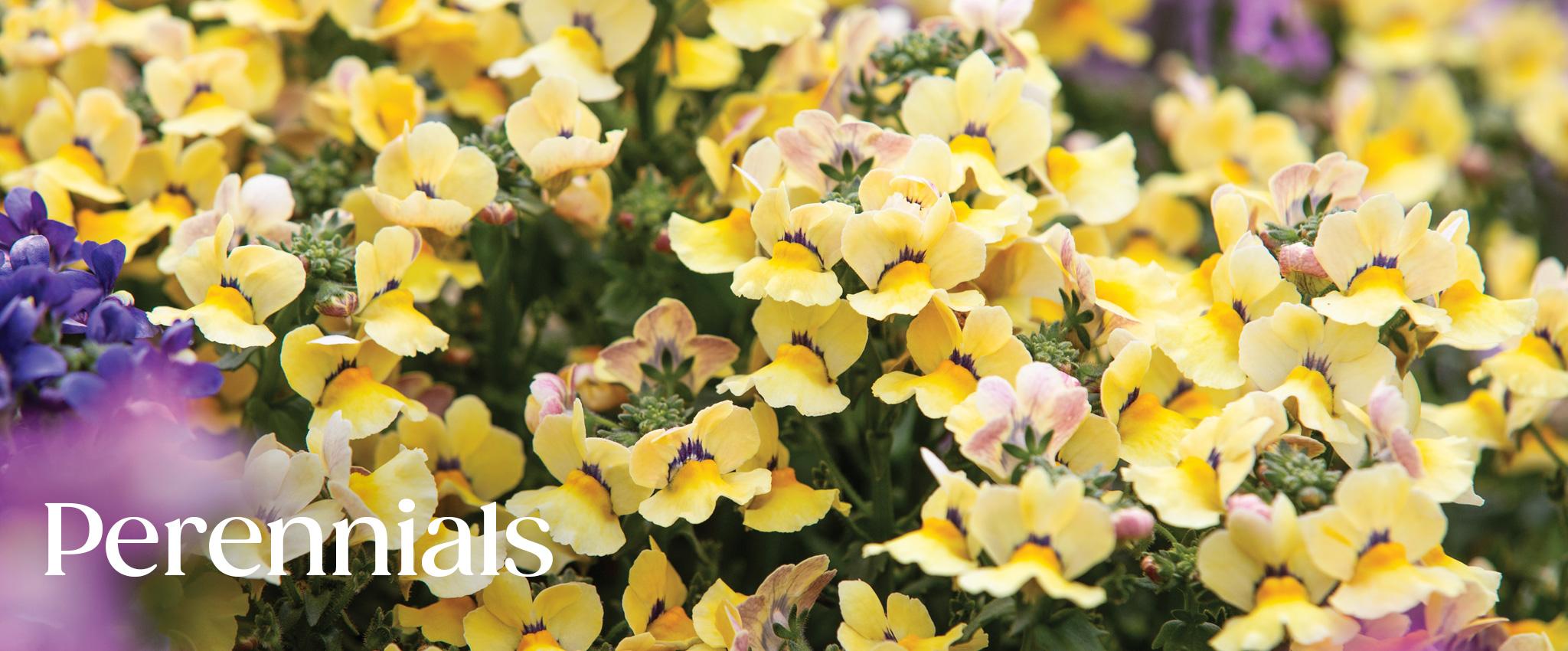 Perennials Tesselaar