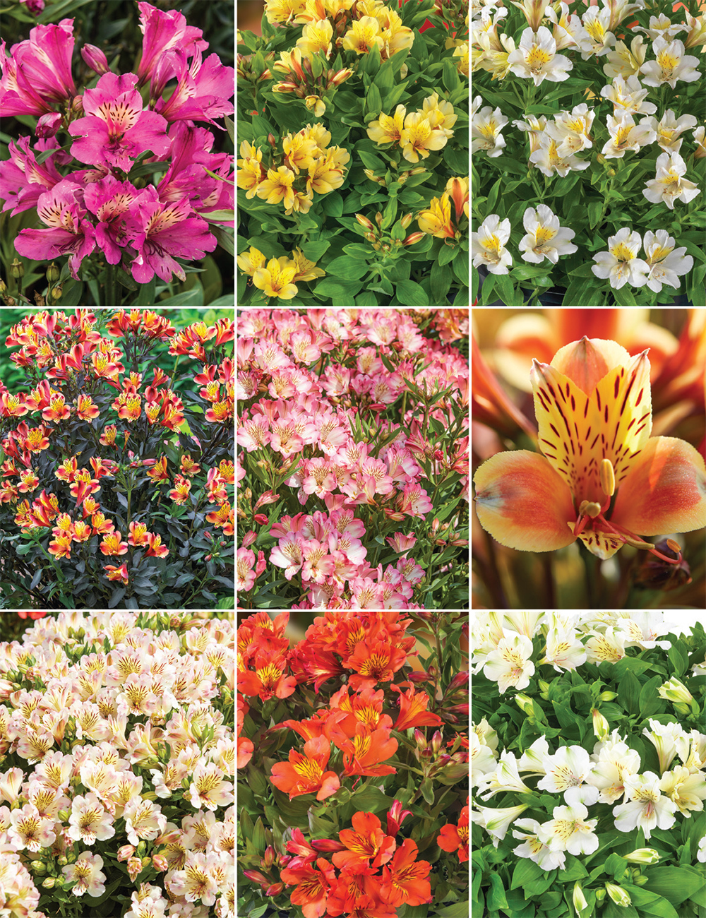 Peruvian lily reduced collection tesselaar izmirmasajfo