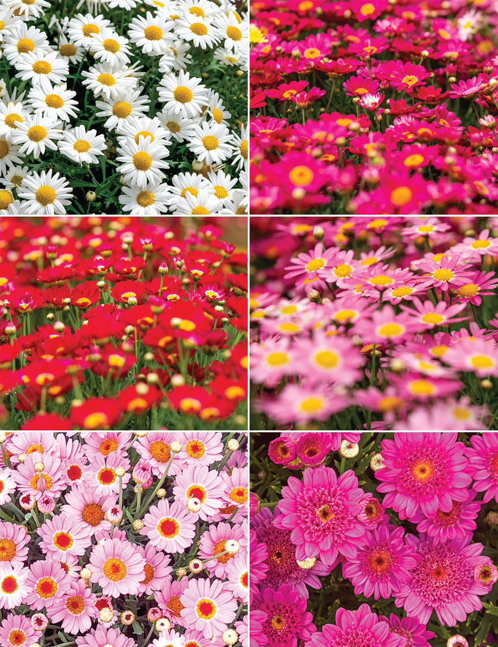 Marguerite Daisies Collection Tesselaar
