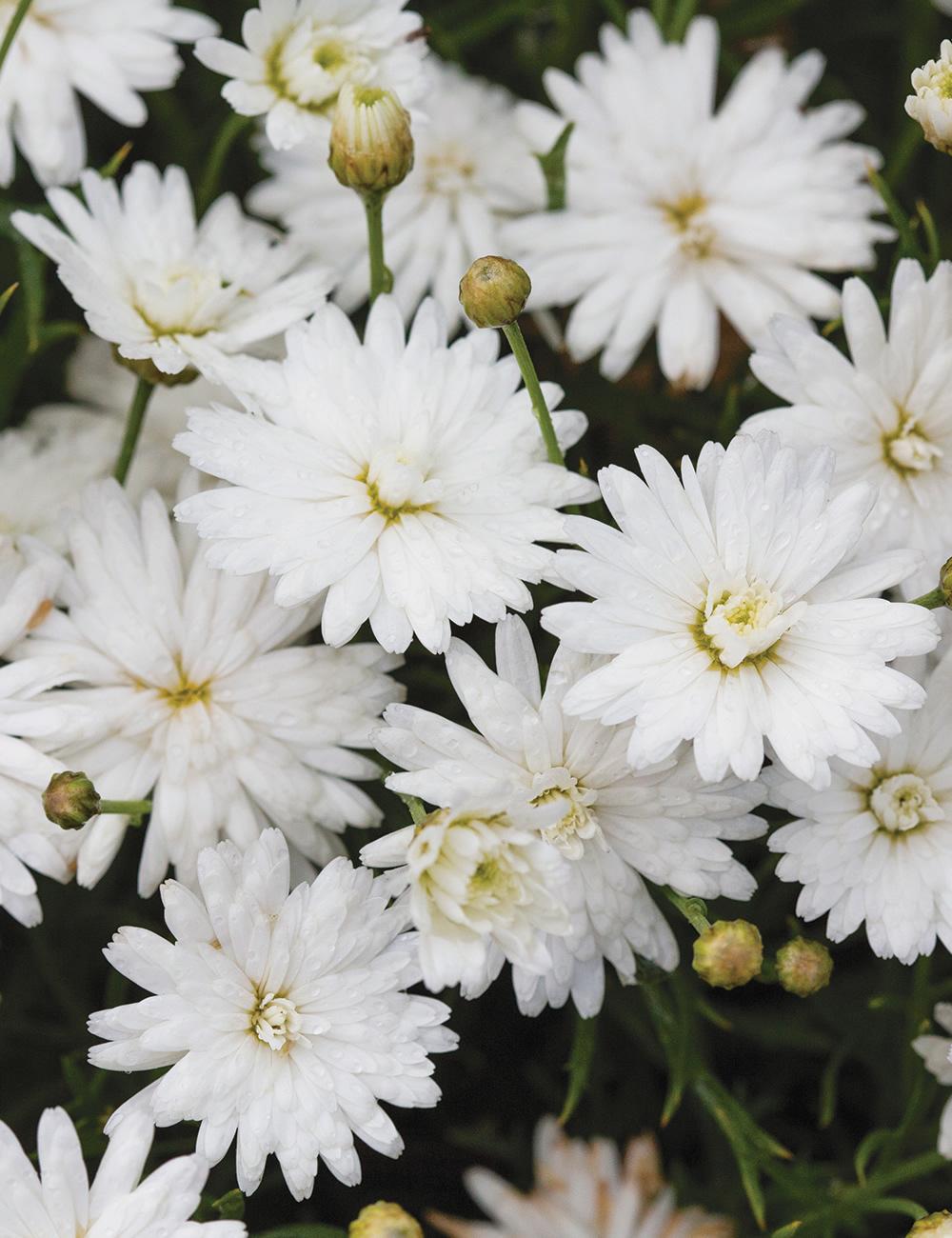Marguerite Daisies Madeira Double White Tesselaar