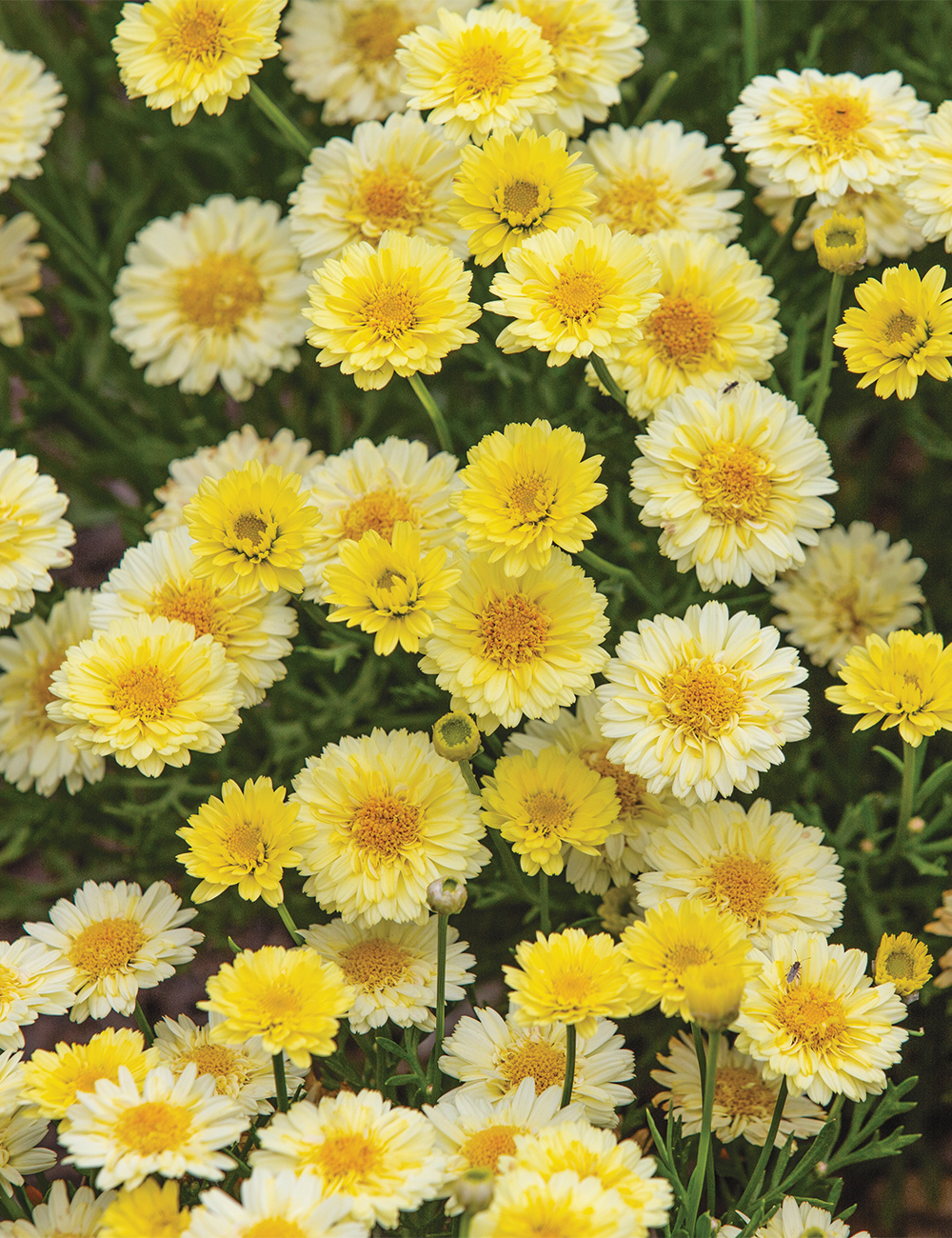 Marguerite Daisies Angelic 'Maize'