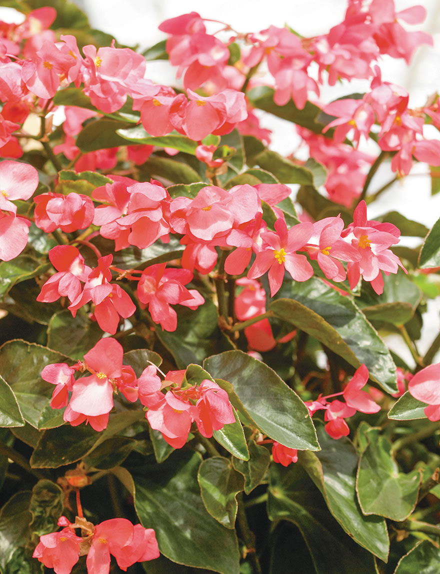 Begonia Dragon Wing Pink Tesselaar