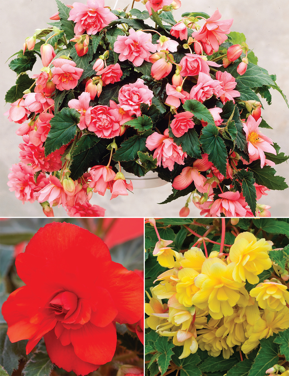 Sun Dancer Trailing Begonias (reduced) Collection