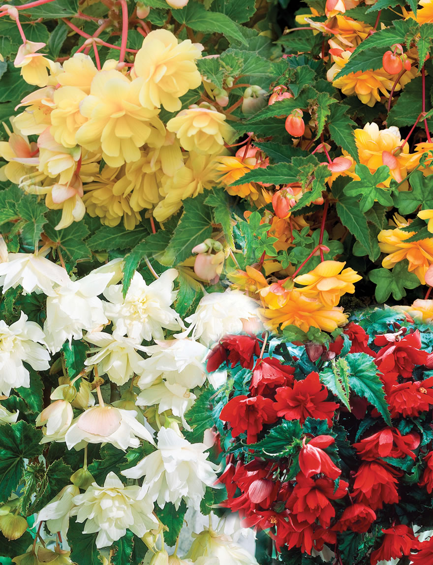 Trailing Tuberous Begonias Mixed