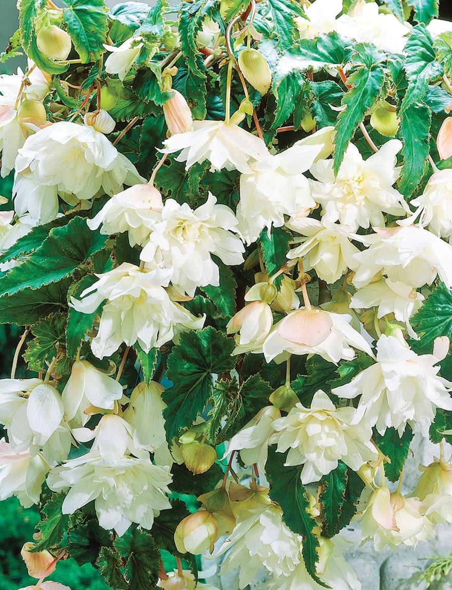 Trailing Tuberous Begonias White Tesselaar