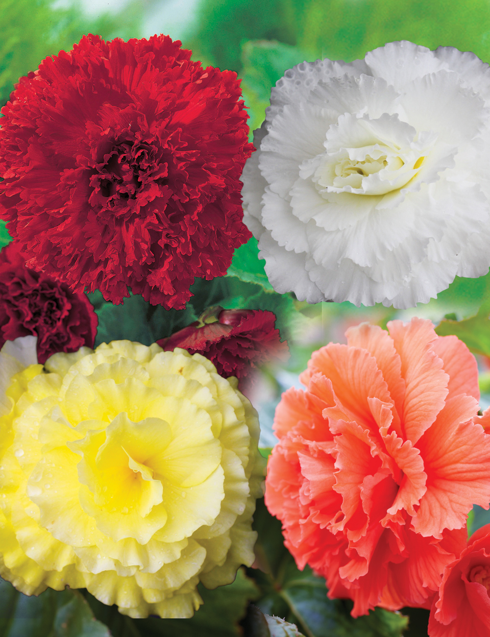 Ruffled Tuberous Begonias Mixed