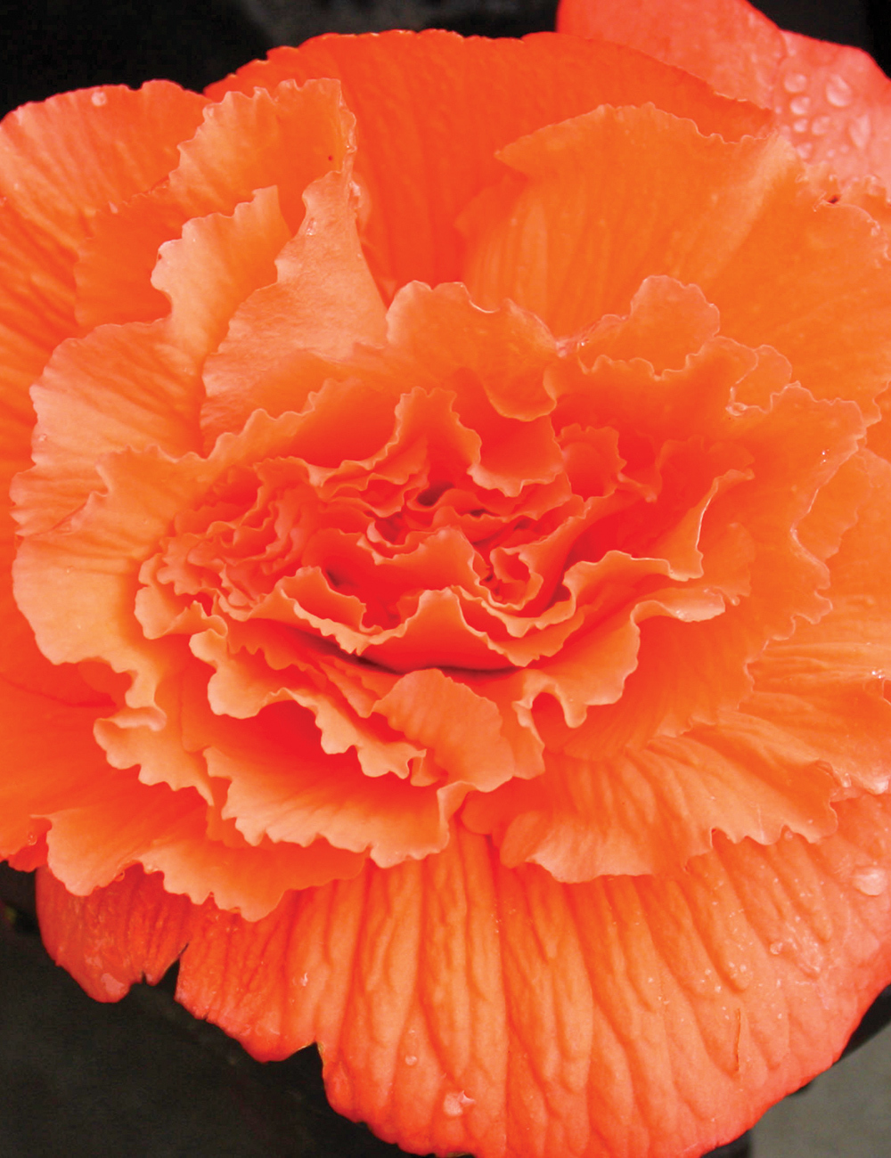Ruffled Tuberous Begonia Orange