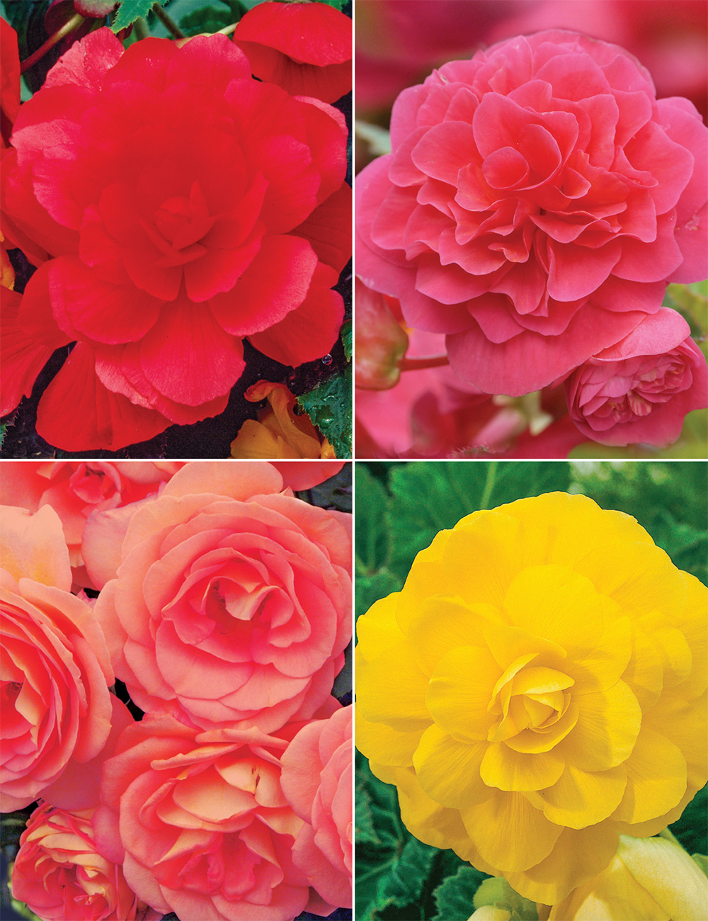 Roseform Tuberous Begonias Collection