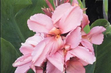 how to grow canna lilies site au