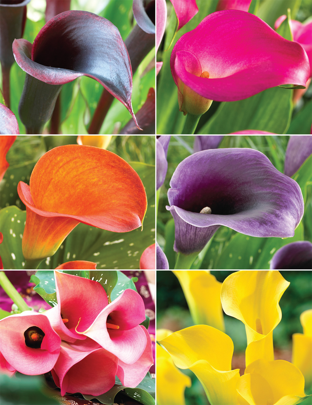 Calla Lilies (reduced) Collection