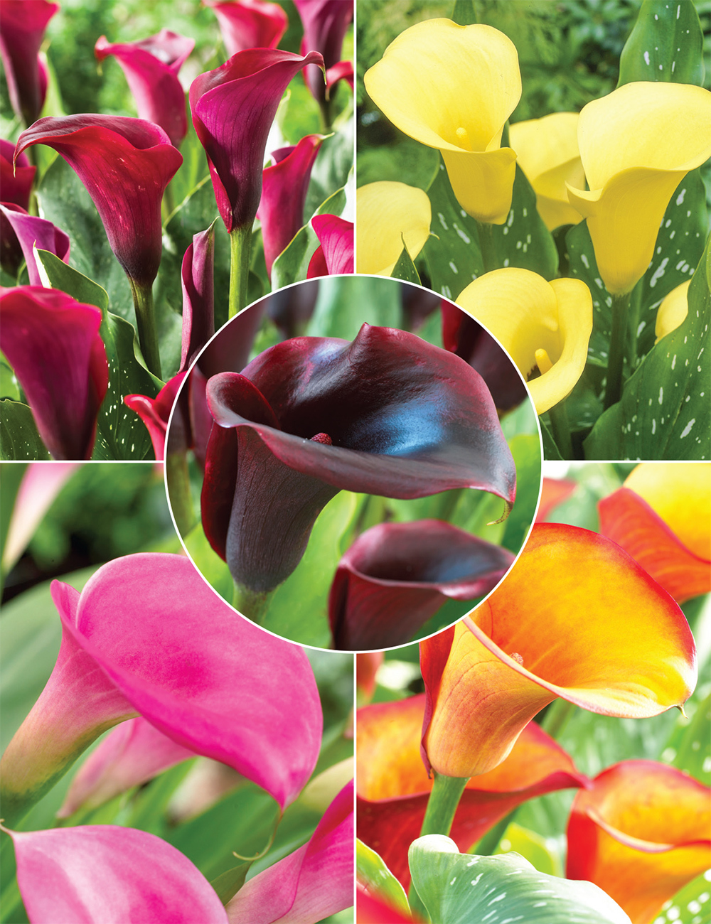Calla Lilies Collection