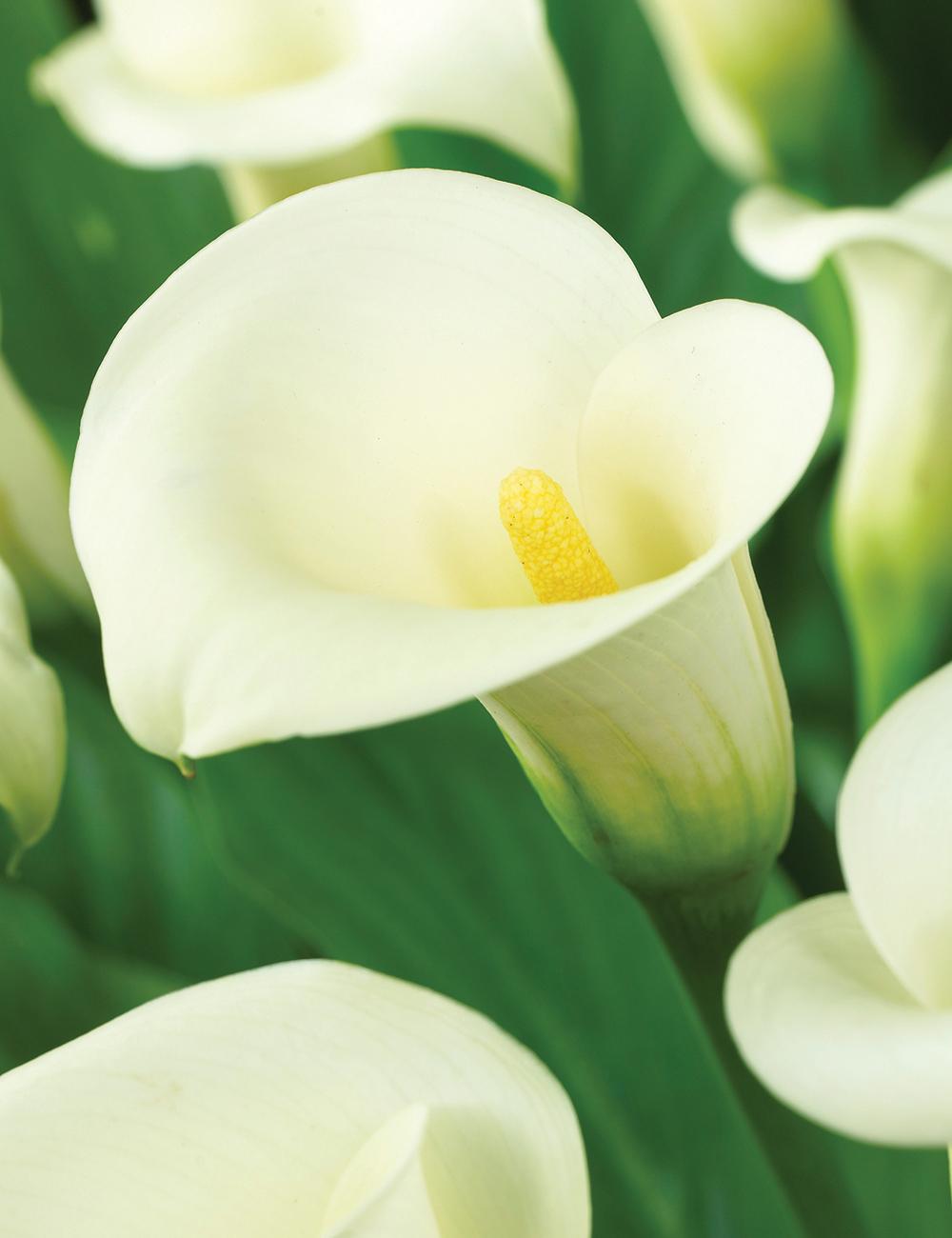 Calla Lilies Jack Frost Tesselaar