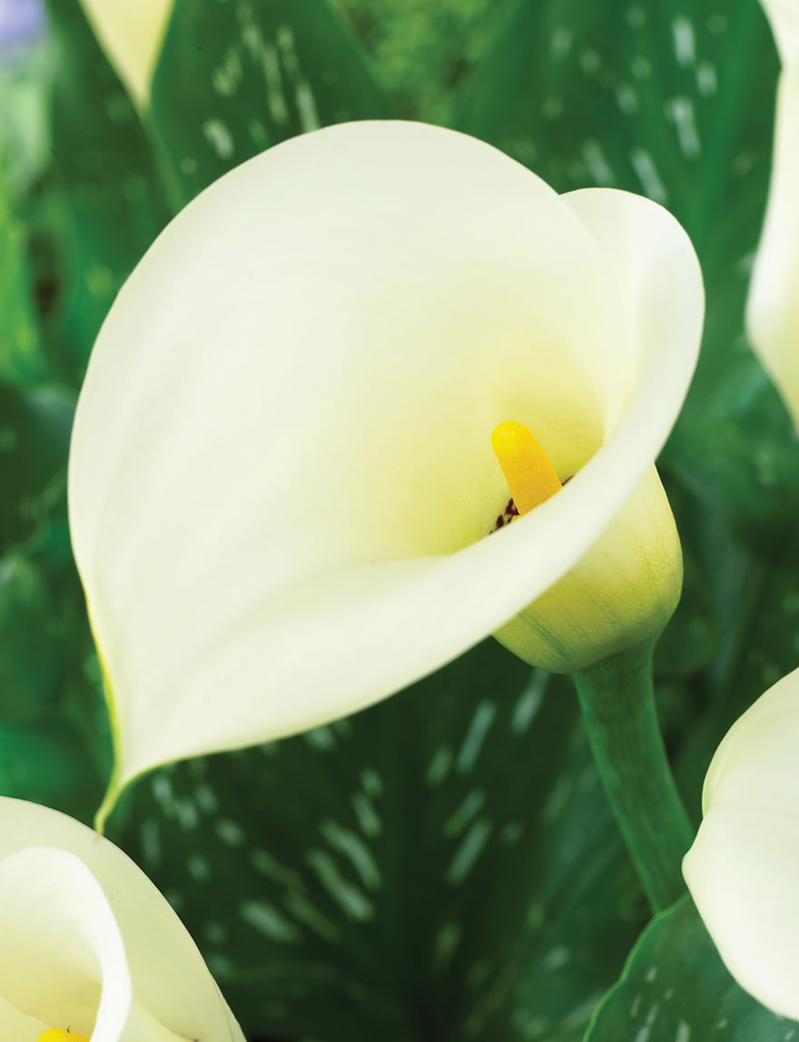 Extra Sumo Calla Lily White Sox Tesselaar