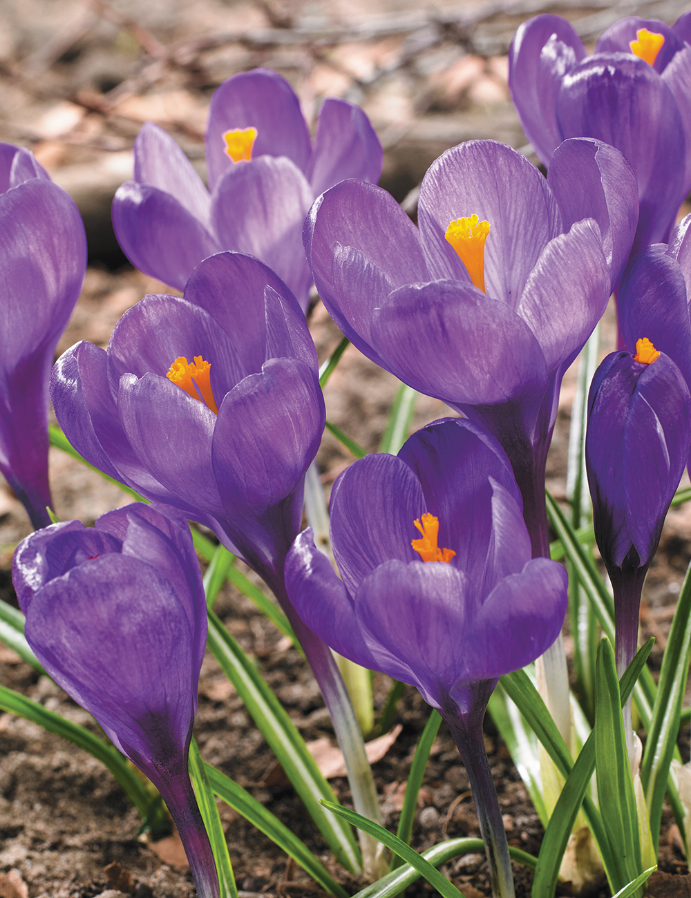 Dutch Crocus Grand Maitre