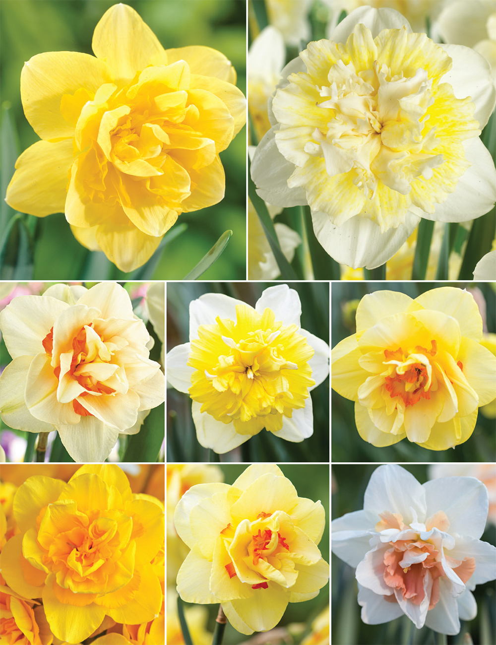 Double Daffodils Collection