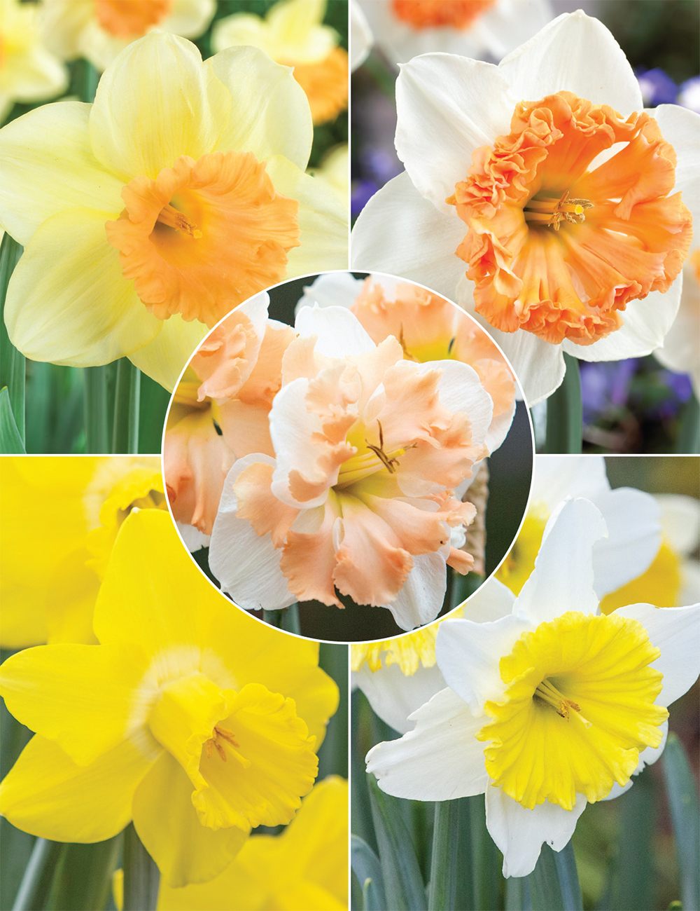 Tesselaar Top 8 Daffodils (reduced) Collection