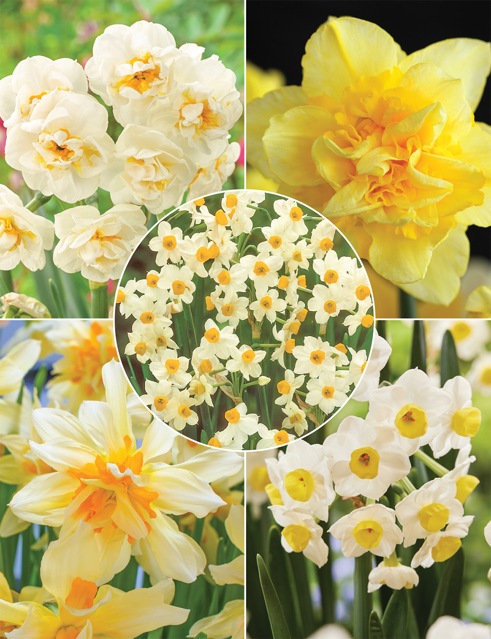 Naturalising Daffodil (reduced) Collection