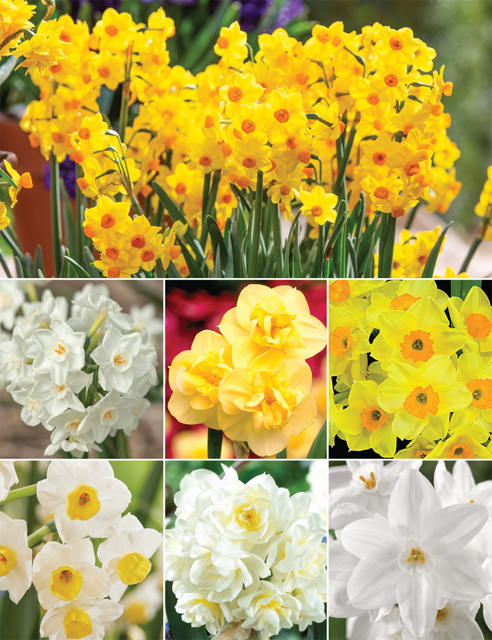 Scented Daffodils (reduced) Collection