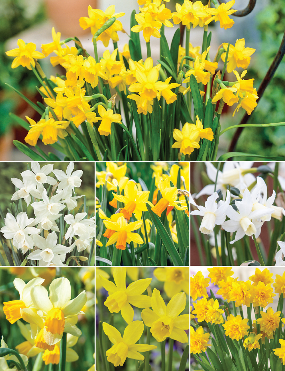 Miniature Daffodils (reduced) Collection