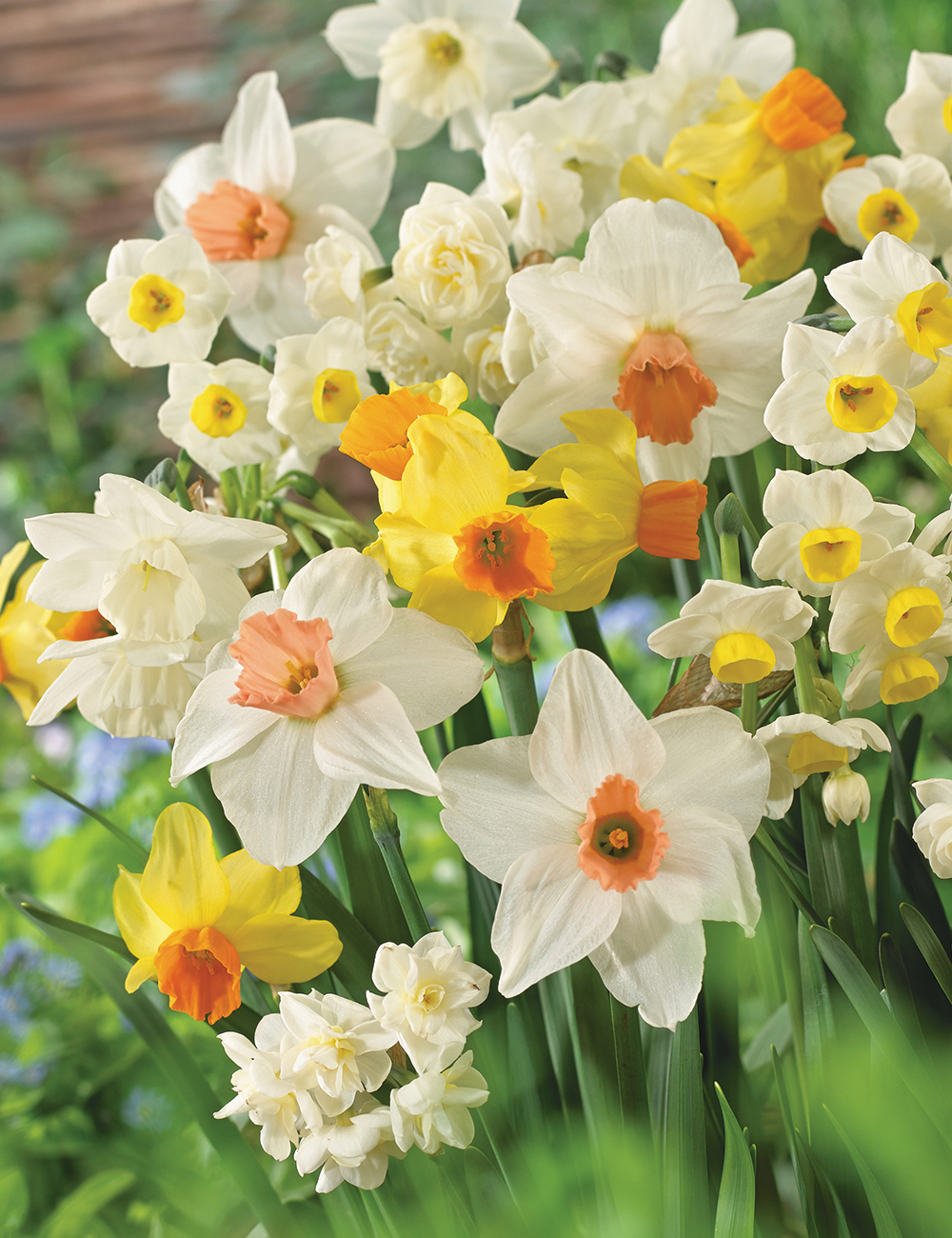 Mixed Daffodils Tesselaar Choice Blend