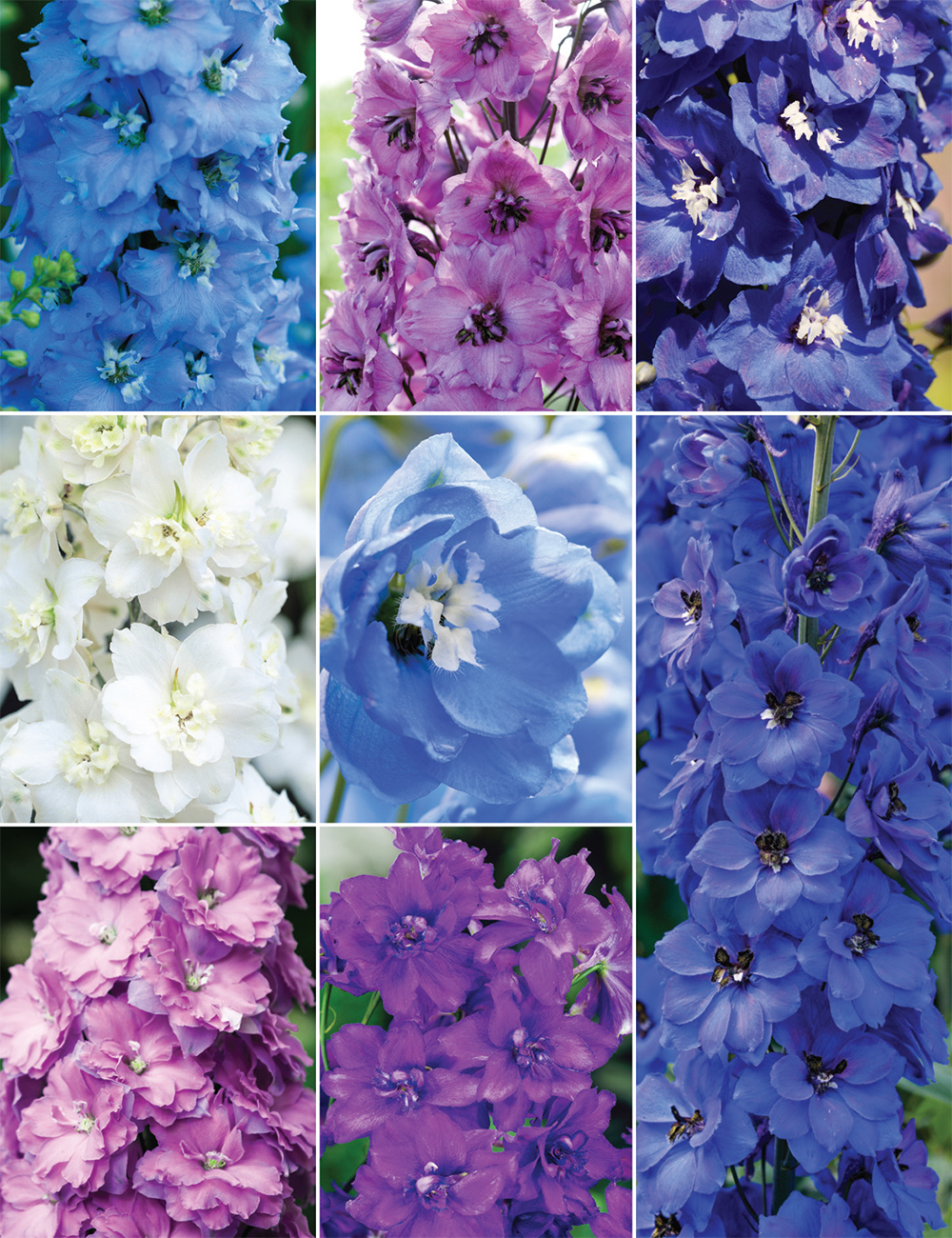 Dowdeswell Delphiniums (reduced) Collection