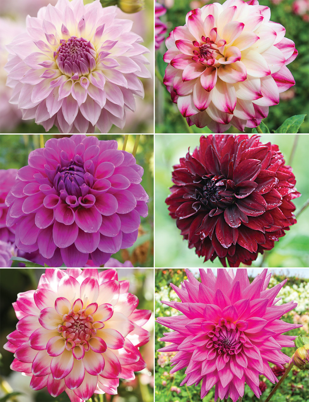 Dahlia 'A Time for Romance' Collection