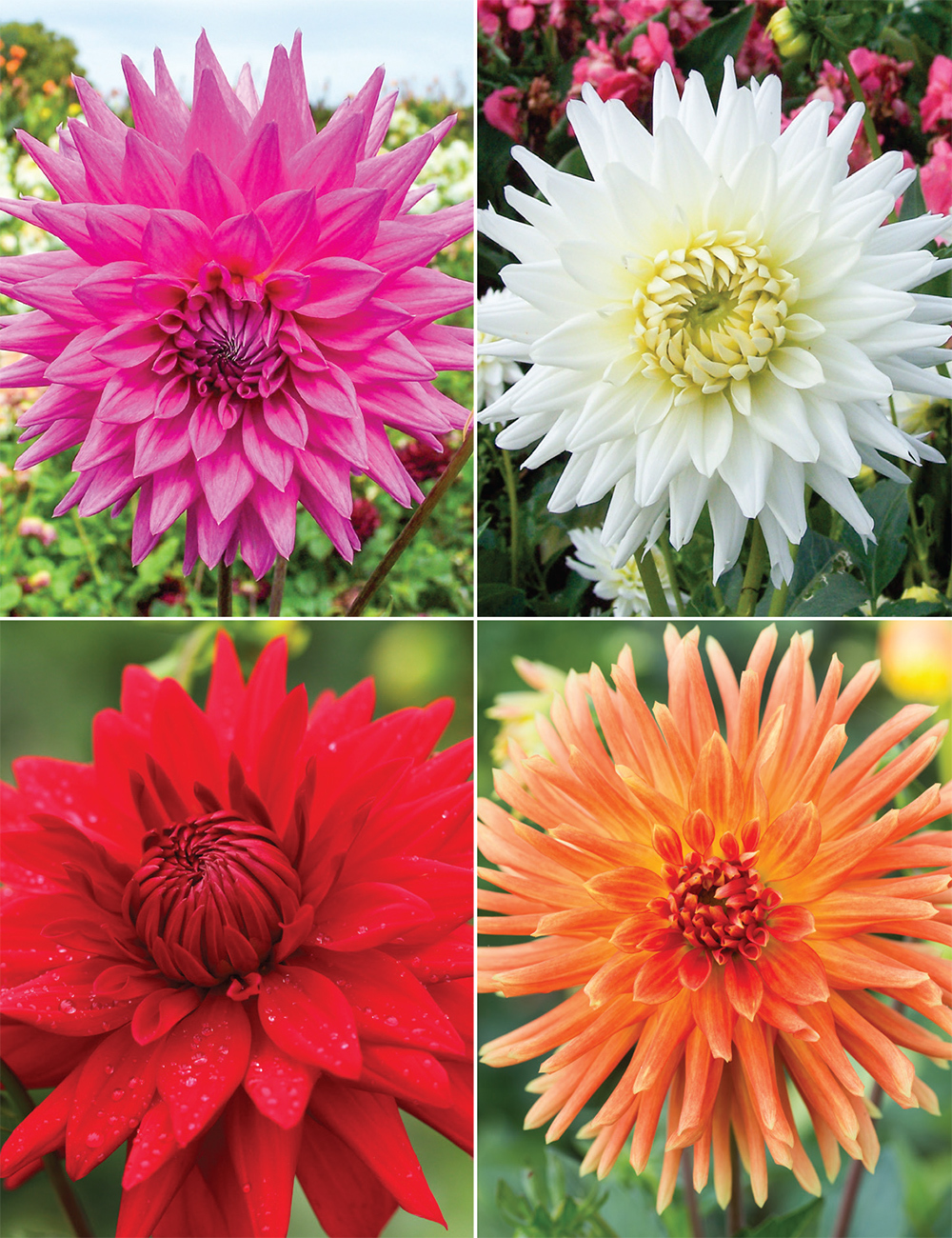 Dahlia 'Cacti' (reduced) Collection