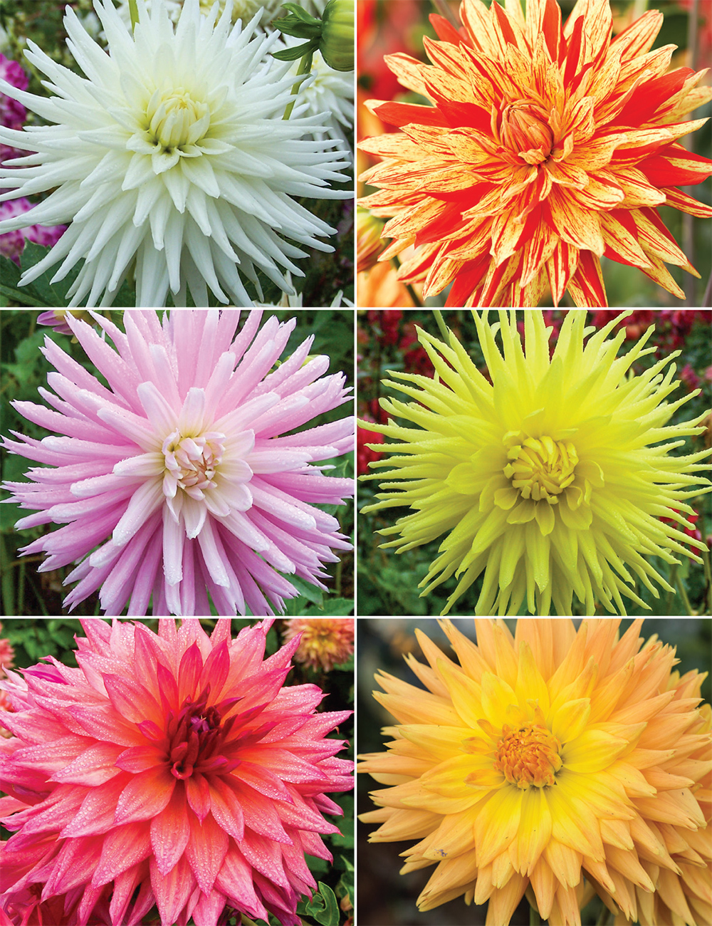 Dahlia 'Delbard' (reduced) Collection