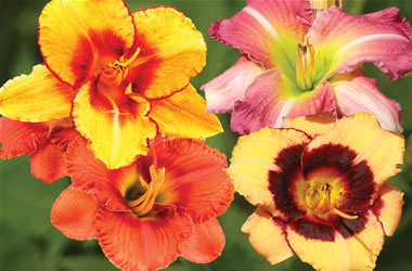 Daylily Special Offer Mixed