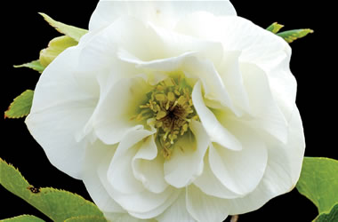 winter rose white duchess tesselaar. Black Bedroom Furniture Sets. Home Design Ideas