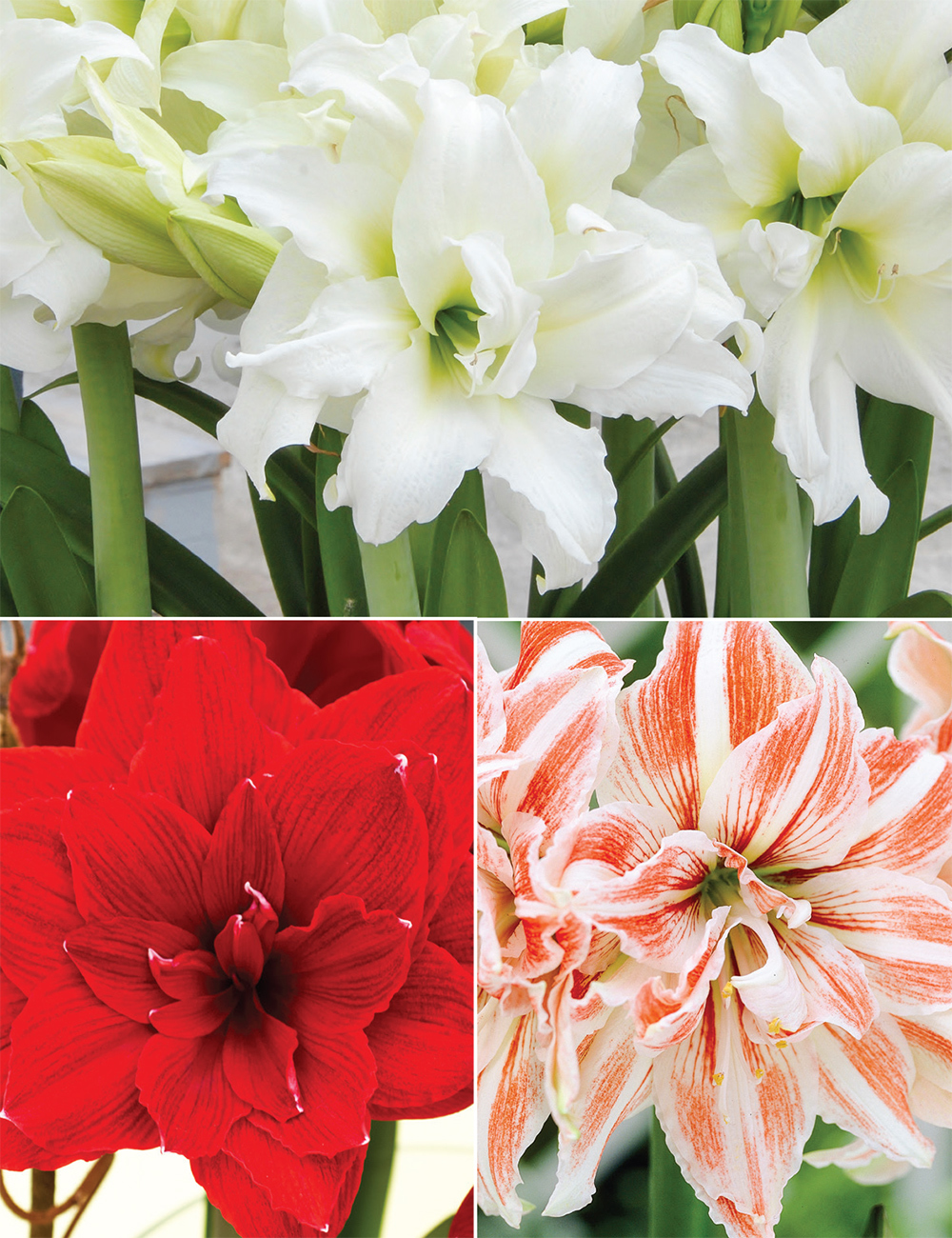 Double Hippeastrum Collection