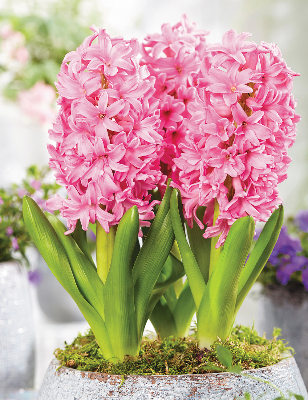 Potting Hyacinth Pink Pearl