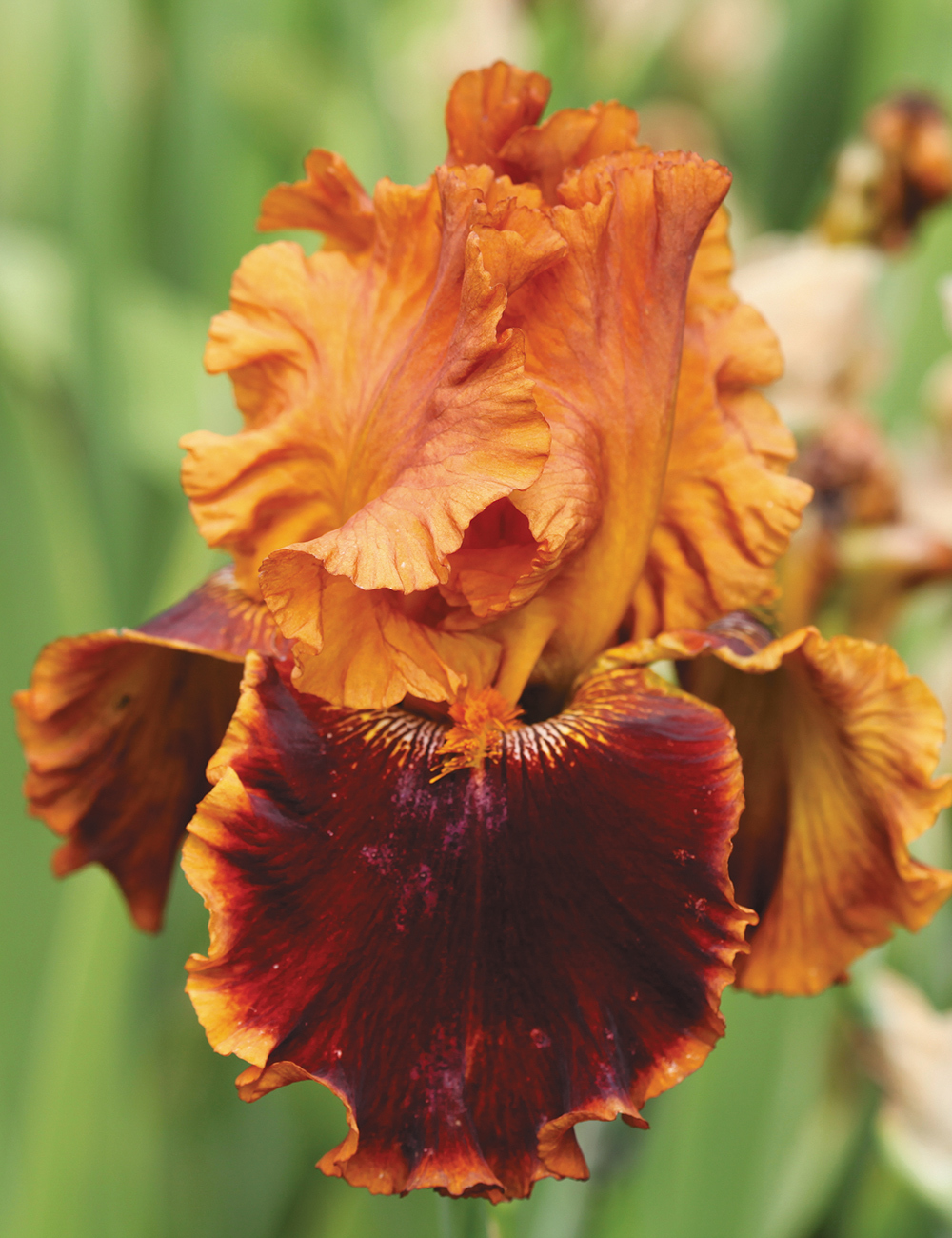 Bearded Iris Copatonic
