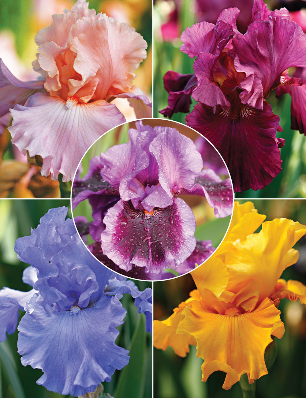Bearded Iris Big and Bold Collection
