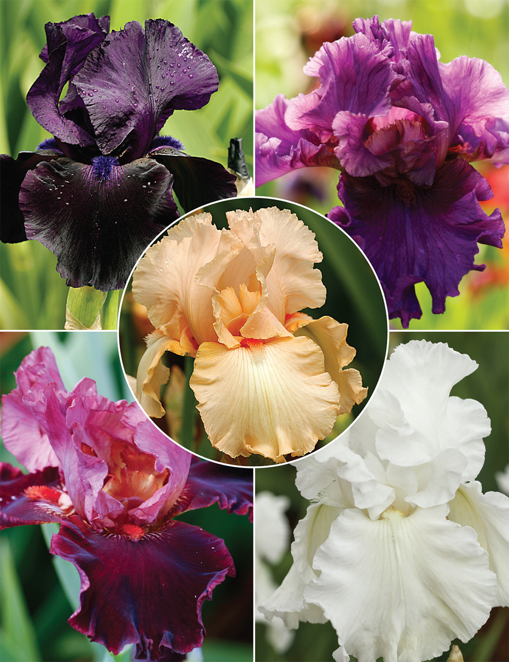 Bearded Iris Romantic Affair Collection