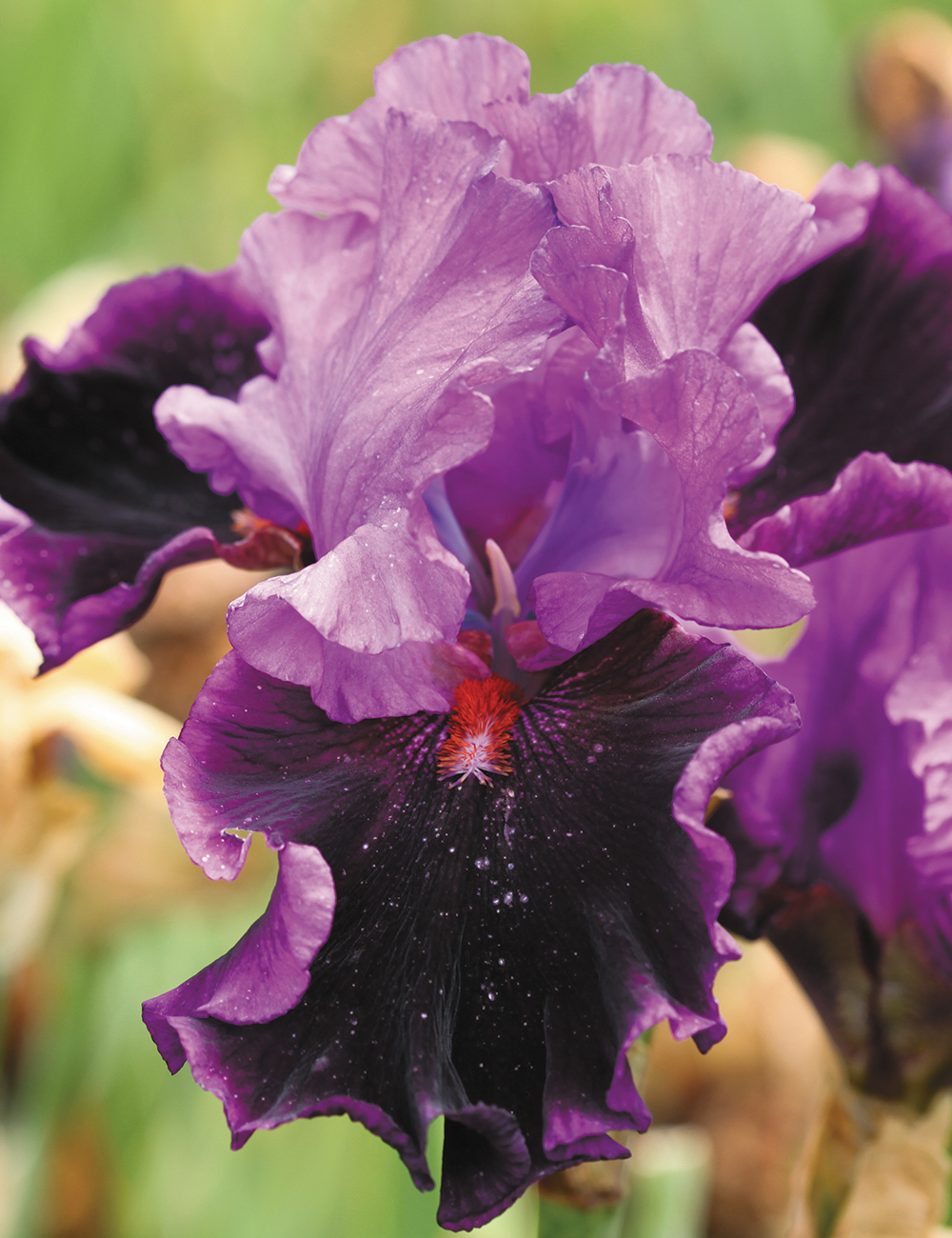 Bearded Iris Who's Your Daddy