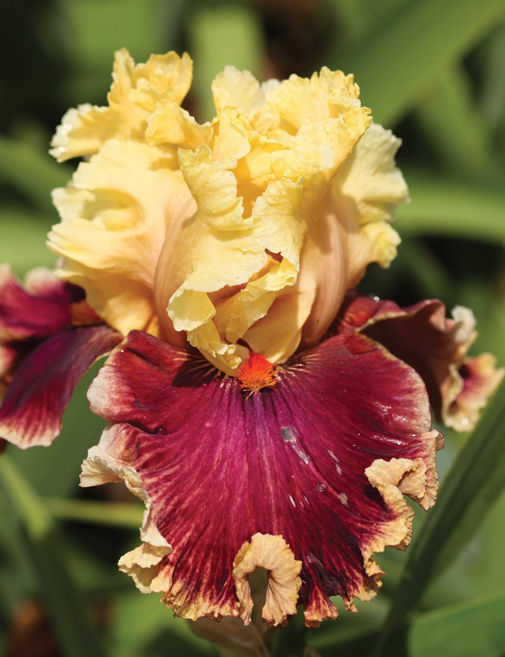 Bearded Iris Tesselaar