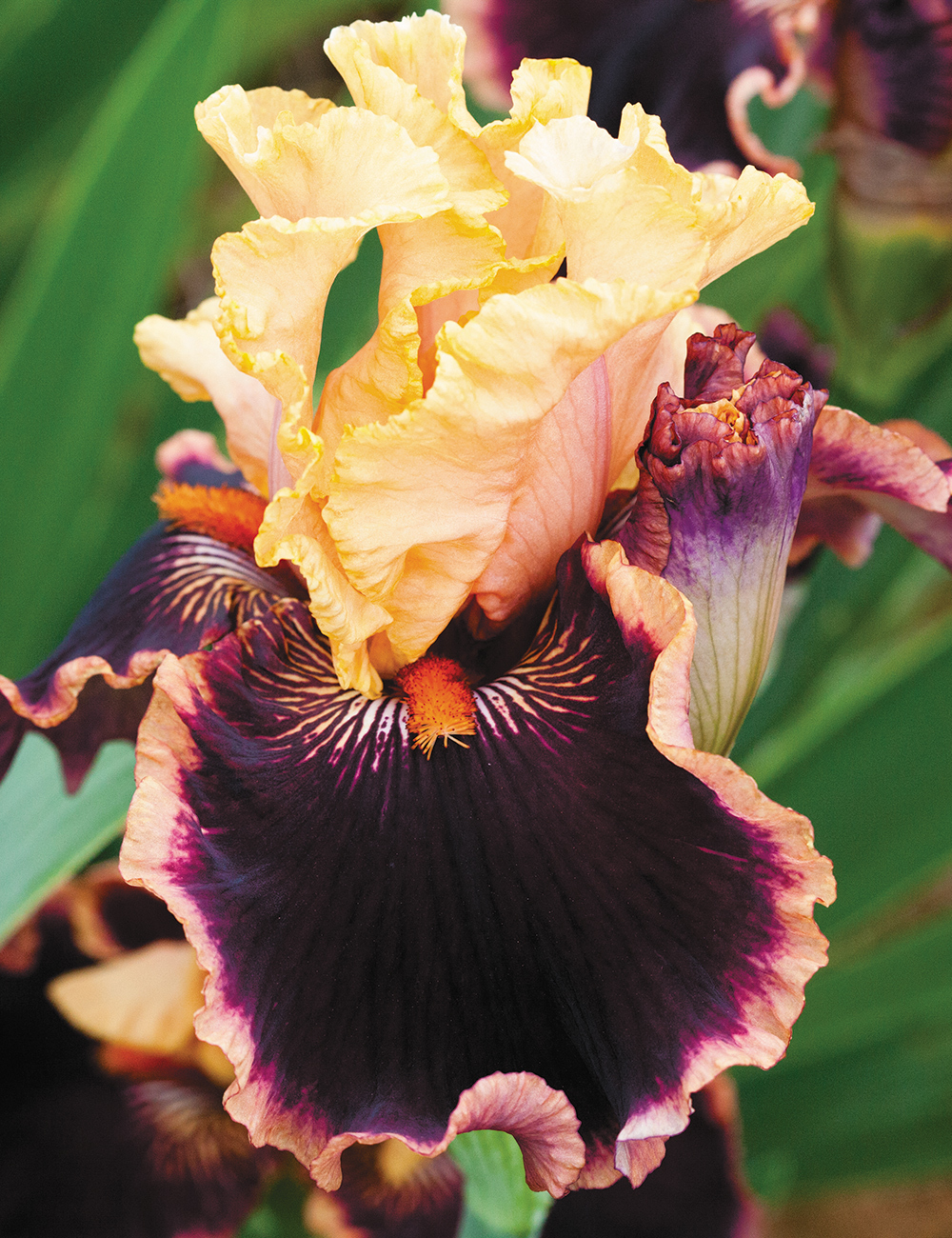 Bearded Iris Glamour Pants