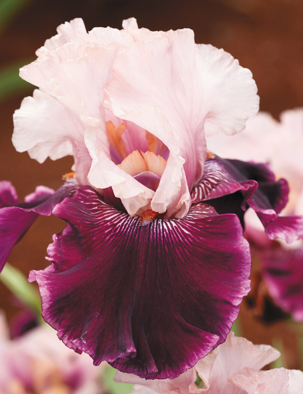 Bearded Iris Pure Romance