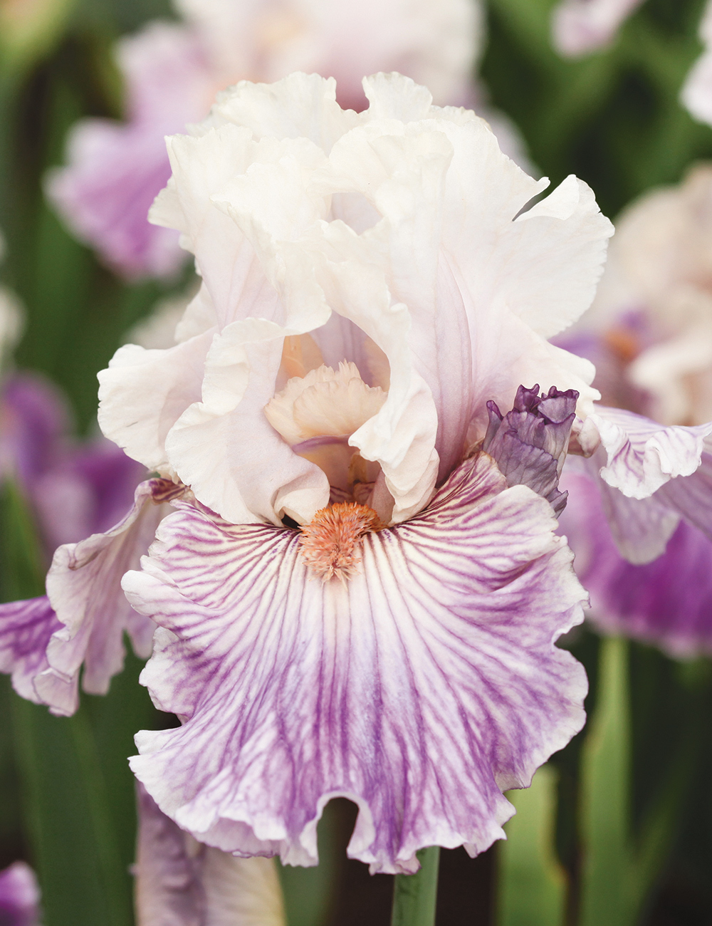 Bearded Iris Reckless in Denim