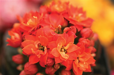 Kalanchoe Flaming Katy Orange