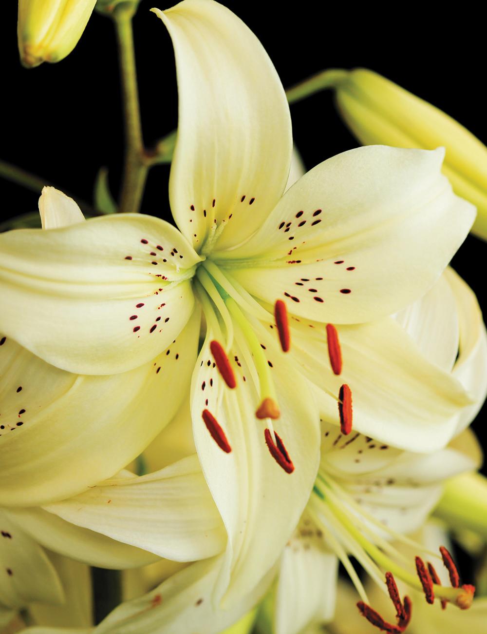 Tiger Lilies Sweet Surrender Tesselaar