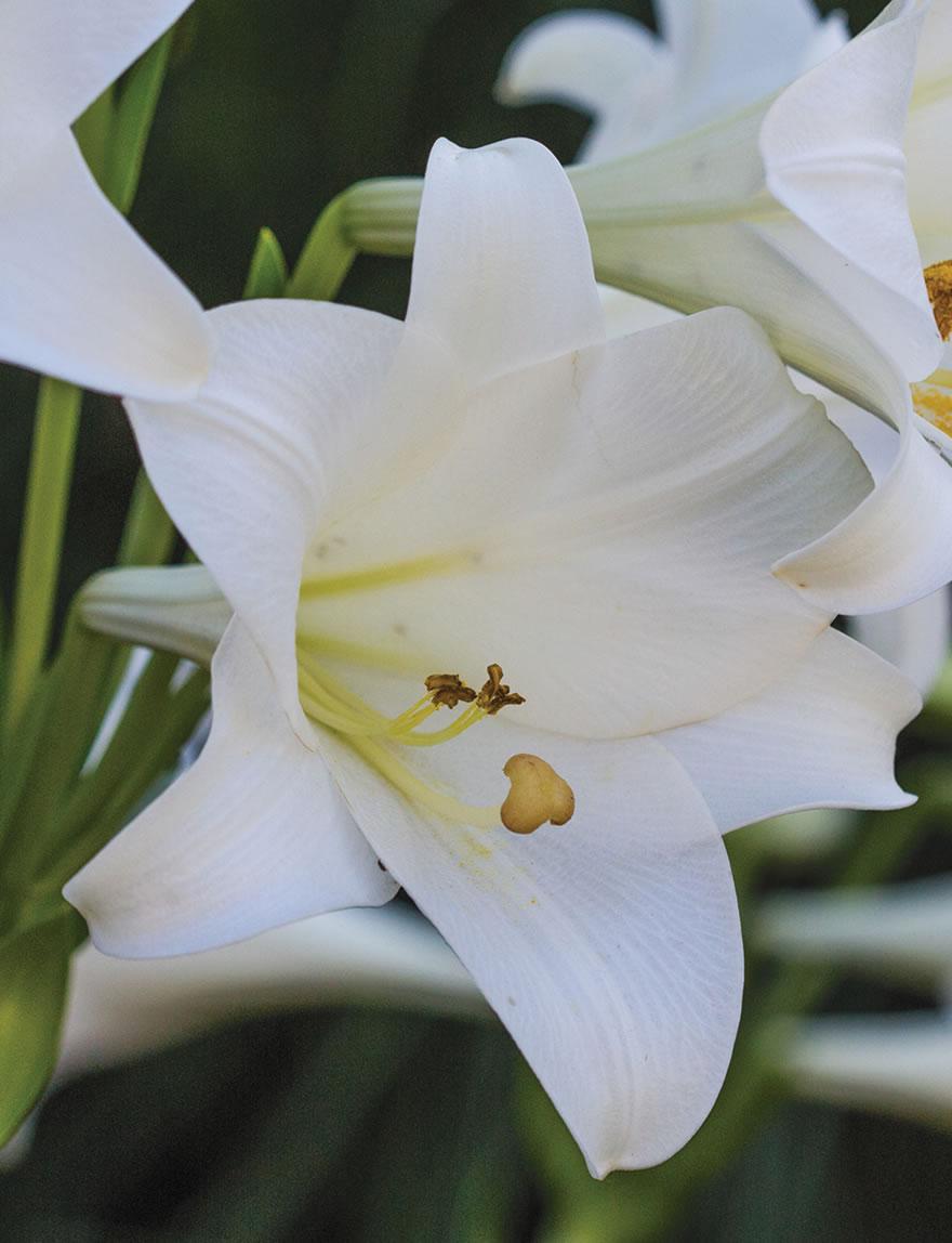 Sumo christmas lilies white dragon tesselaar izmirmasajfo