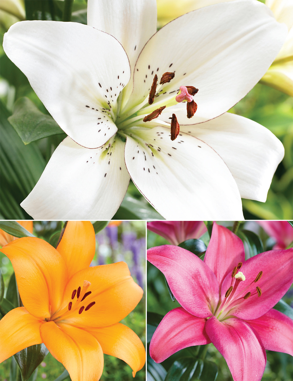 Sumo Asiatic Lilies (reduced) Collection